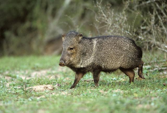 Recuperan una especie animal declarada extinta en Uruguay
