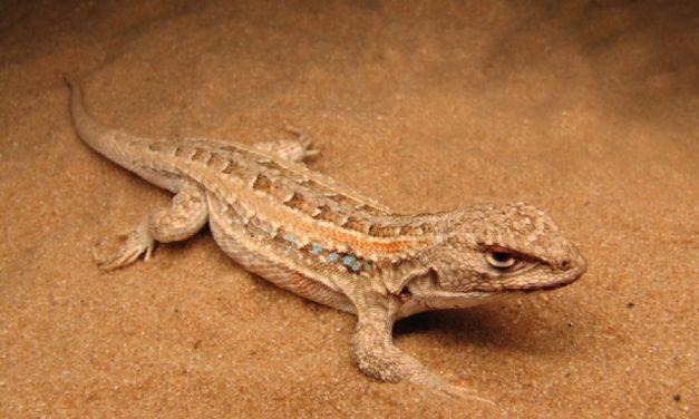 La lagartija de Gardel: nueva especie animal en Uruguay