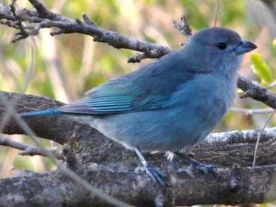 Pájaro Chogüi: un ave con historia folklórica