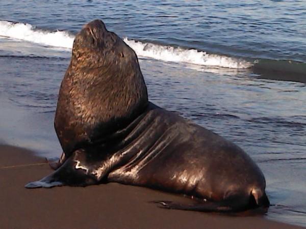 Exitoso rescate de lobo marino