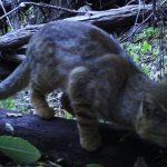 """Después de 20 años encuentran un gato """"colocolo"""" en Chile"""