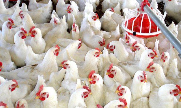 """Cómo funciona la avícola """"Valle Alegre"""""""